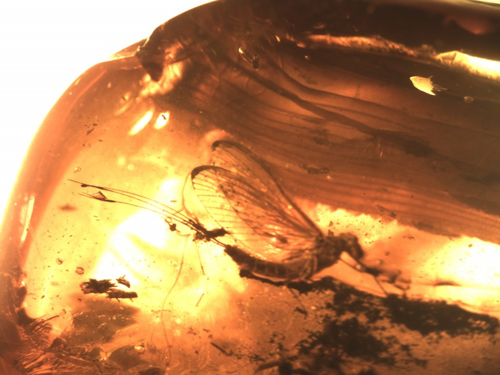 Baltic Amber with Fossils Insects