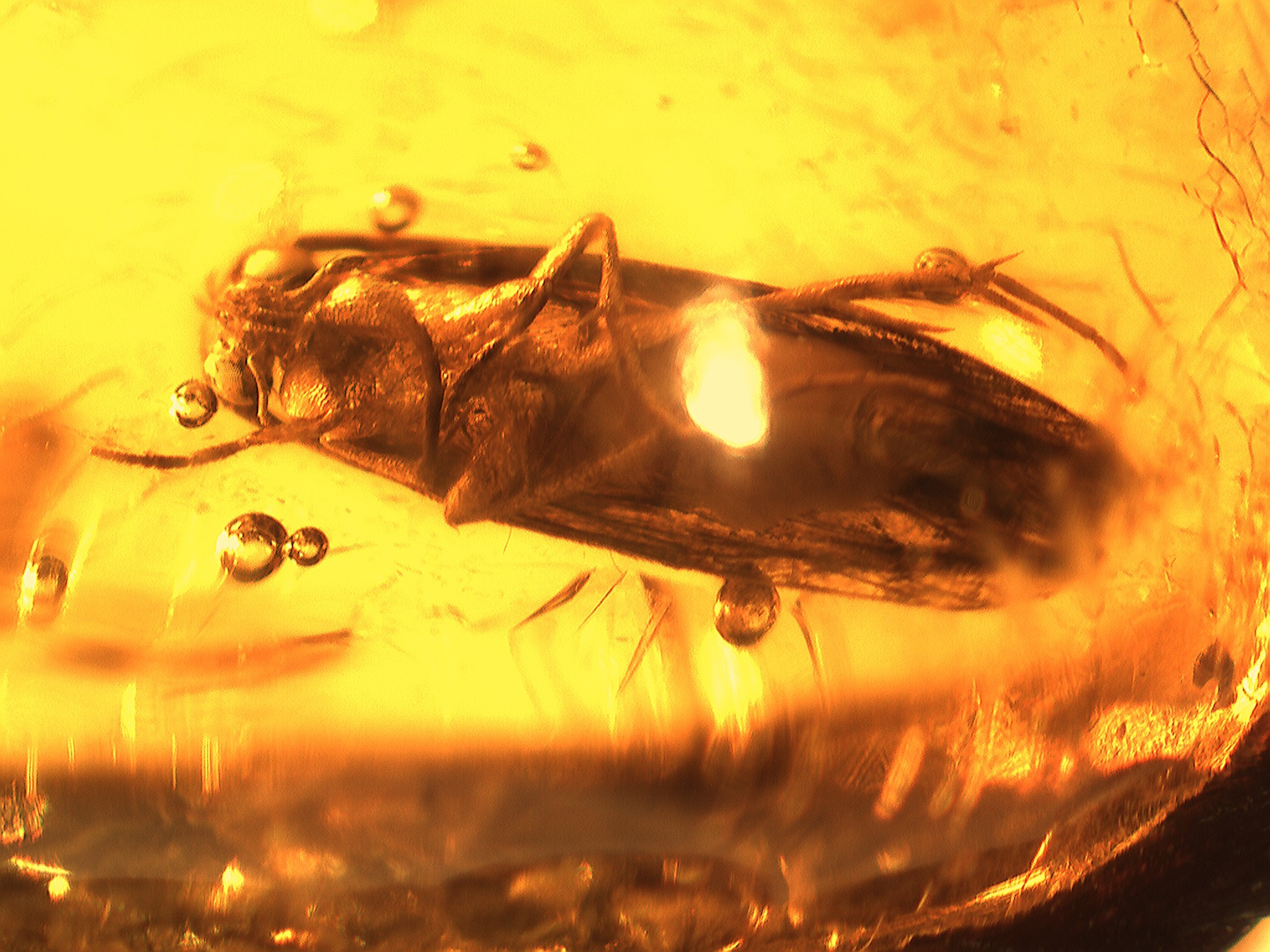 Lizard in Chiapas amber