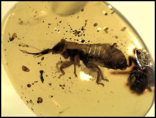 Lacewing larvae Chiapas Amber
