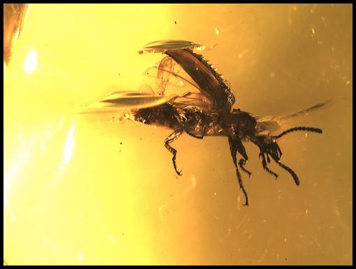 mosquito amber