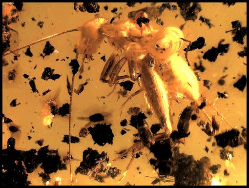 spider amber