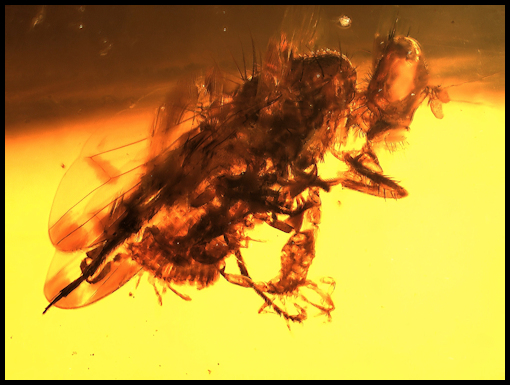 Pseudoscorpions attached to fly