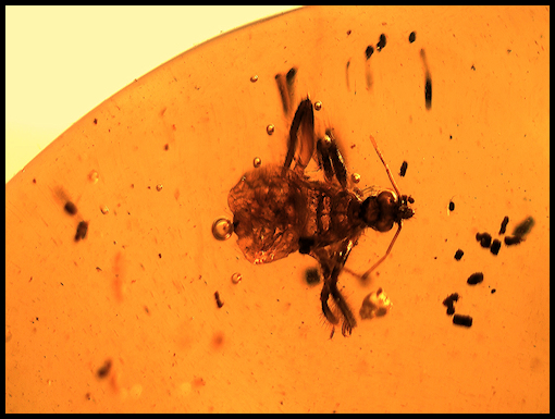 Dominican Republic Amber Ambar with Fossils