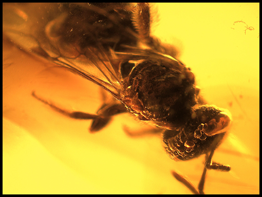 Dominican Amber Tropical Stingless Bee