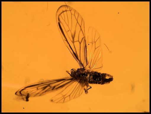 Dominican Amber With Insects Planthopper