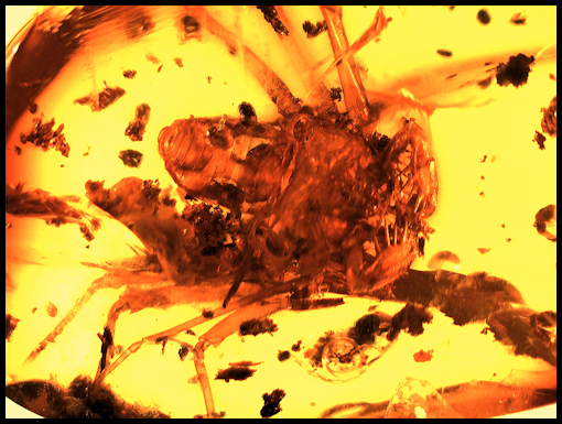 Whip Scorpion in Dominican Amber