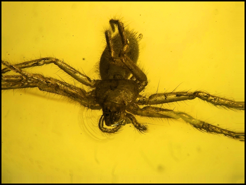 Spider in Amber